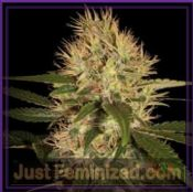 DNA Genetics Martian Mean Green cannabis seeds feminised